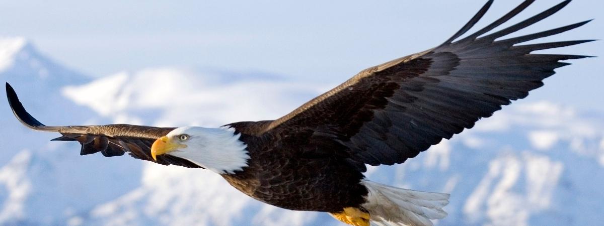Eagle Fact 1